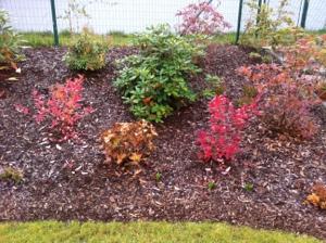 Kanadské borůvky, rhododendron